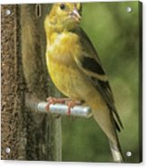 Young Goldfinch Acrylic Print