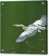Young Great Blue Heron Taking Flight Acrylic Print