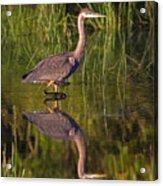 Young Heron Acrylic Print