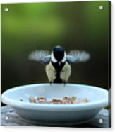 Young Hungry Tit Acrylic Print
