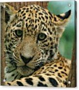 Young Jaguar Acrylic Print by Sandy Keeton