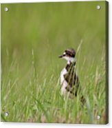 Young Killdeer In Grass Acrylic Print