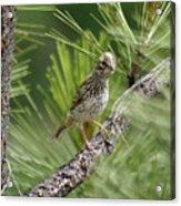 Young Lark Sparrow 3 Acrylic Print