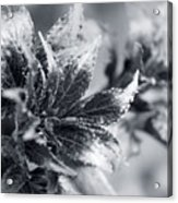 Young Leaves In Black And White Acrylic Print