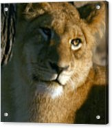 Young Lion Acrylic Print