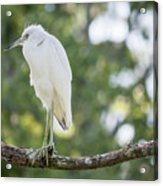 Young Little Blue Heron Acrylic Print
