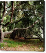 Young Live Oaks Acrylic Print