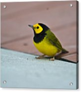Young Male Hooded Warbler 1 Acrylic Print
