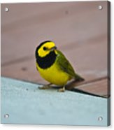 Young Male Hooded Warbler 2 Acrylic Print
