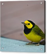 Young Male Hooded Warbler 3 Acrylic Print