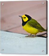 Young Male Hooded Warbler 4 Acrylic Print