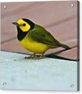 Young Male Hooded Warbler 5 Acrylic Print