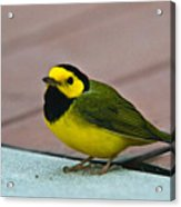 Young Male Hooded Warbler 6 Acrylic Print