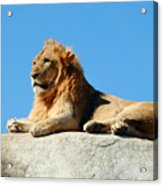 Young Male Lion Reclining On A Rock Acrylic Print