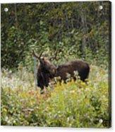 Young Male Moose Acrylic Print