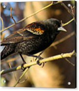 Young Male Red-winged Black Bird Acrylic Print