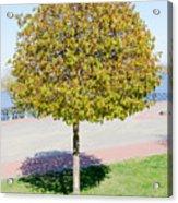Young Maple Tree Acrylic Print