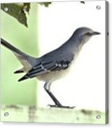 Young Northern Mockingbird Acrylic Print