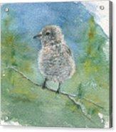 Young Northern Shrike Acrylic Print