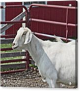 Young Old Goat White And Grayish Red Fence And Gate Barn In Close Proximity 2 9132017 Acrylic Print