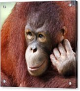 Young Orang Utan Looking Thoughtful Acrylic Print