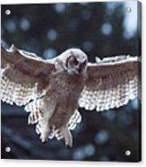 Young Owl Acrylic Print