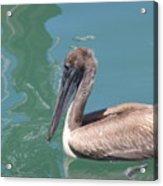 Young Pelican Acrylic Print