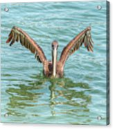 Young Pelican 0087 Acrylic Print