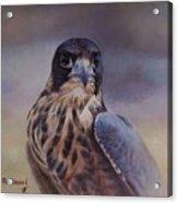 Young Peregrine Falcon Acrylic Print