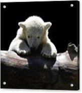 Young Polar Bear On A Log Acrylic Print