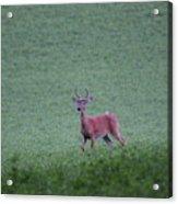 Young Pomfret Summer Buck Acrylic Print