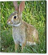Young Rabbit Acrylic Print