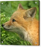 Young Red Fox In Profile Acrylic Print