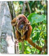 Young Red Howler Monkey Acrylic Print