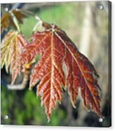 Young Red Maple Leaf In May Acrylic Print