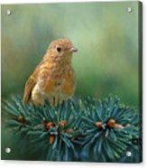 Young Robin On Pine Tree Acrylic Print