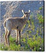 Young Rocky Mountain Bighorn Sheep Acrylic Print