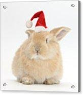 Young Sandy Rabbit Wearing A Christmas Acrylic Print