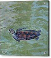 Young Sea Turtle Acrylic Print