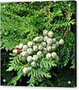 Young Seed Cones Of Lawson Cypress Acrylic Print