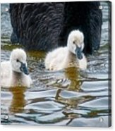 Young 'uns, Black Swan Cygnets Acrylic Print