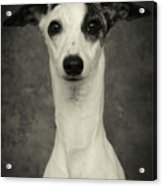Young Whippet In Black And White Acrylic Print