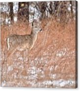 Young White-tailed Deer In The Snow Acrylic Print
