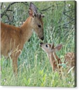 Young White-tailed Deer Say Hello Acrylic Print