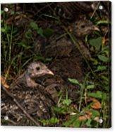 Young Wild Turkeys Acrylic Print