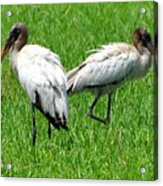 Young Wood Storks 2 Acrylic Print
