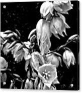 Yucca Blossoms Acrylic Print