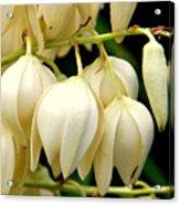 Yucca Flower Acrylic Print