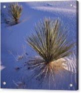 Yucca In Gypsum Sand Acrylic Print