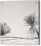 yucca in White sands Acrylic Print